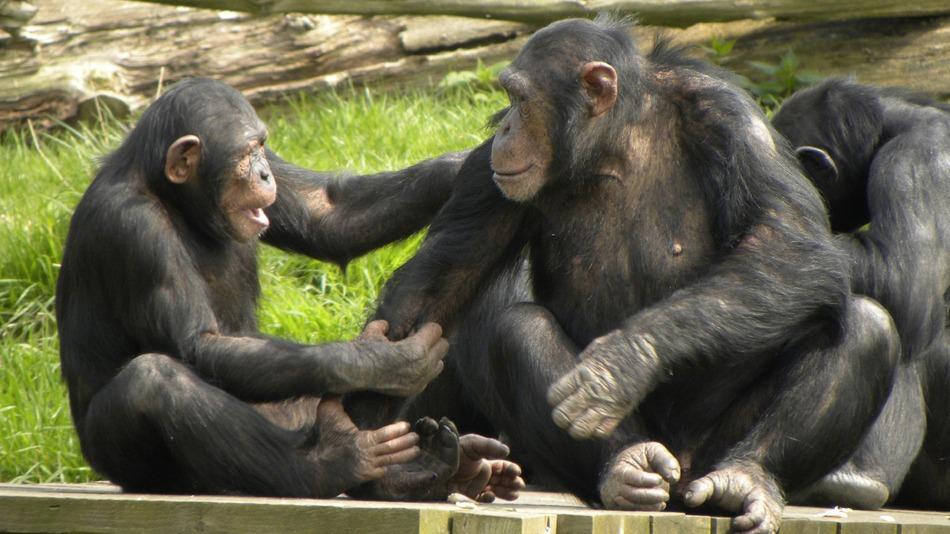Chimp-Gestures